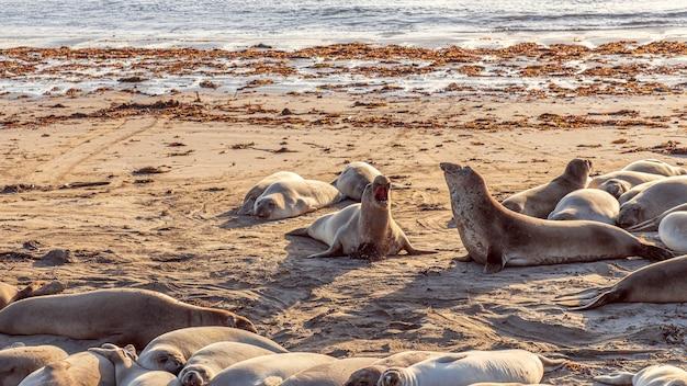 Elefanti marini che combattono e ululano a vicenda sulla spiaggia