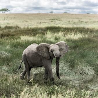 Elefante nel parco nazionale del serengeti