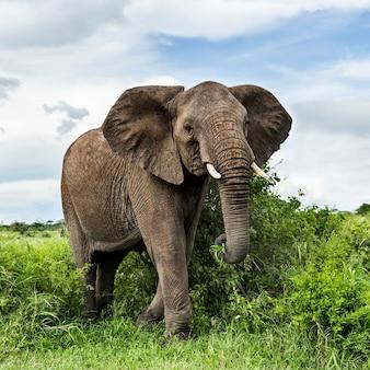 Elefante che cammina, serengeti, tanzania