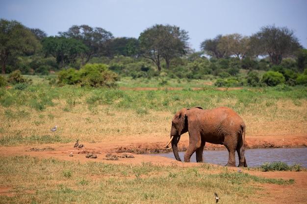 Un elefante sulla pozza d'acqua nella savana del kenya
