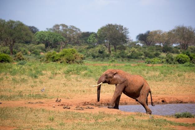Un elefante sul waterhole nella savana del kenya