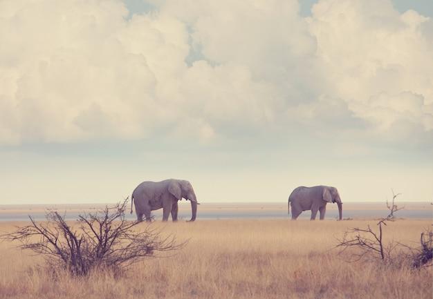 Elefanti nella savana africana.