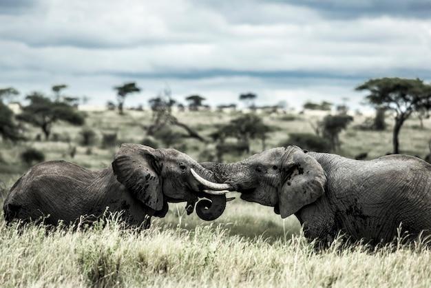 Elefanti che combattono nel parco nazionale del serengeti