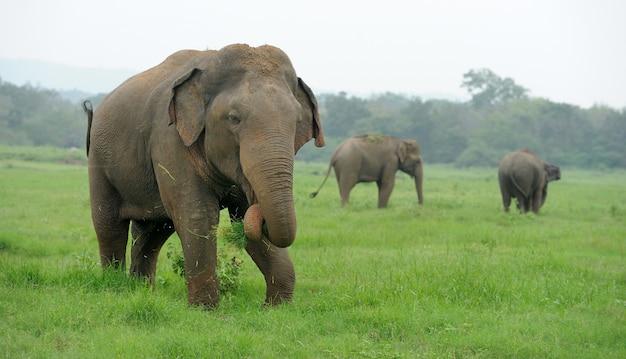 Elefanti nel parco nazionale, sri lanka
