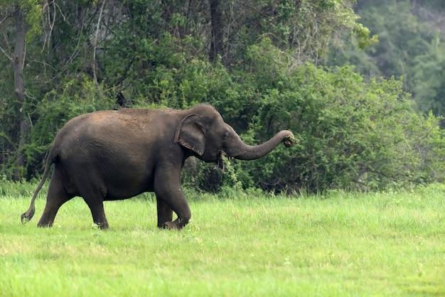 Elefanti nel parco nazionale, sri-lanka