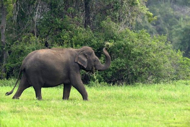 Elefanti nel parco nazionale dello sri lanka