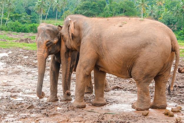 Elefanti al rifugio pinnawella in sri lanka. il mondo animale dello sri lanka. fotografia di elefanti.