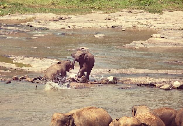 Elefanti in sri lanka Foto Premium