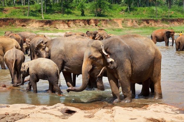 Elefanti in sri lanka