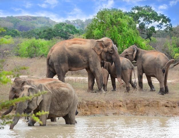 Elefanti al parco nazionale di yaala in sri lanka