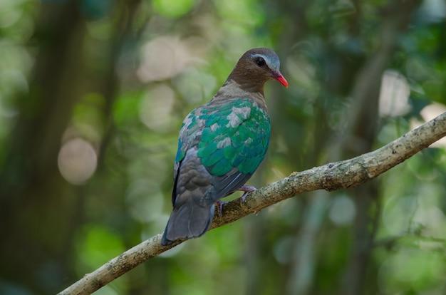 Colomba verde smeraldo o piccione verde