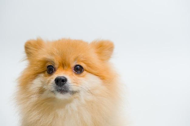 Concetto animale di supporto emotivo. il cane di pomeranian della piccola razza sta cercando qualcosa.