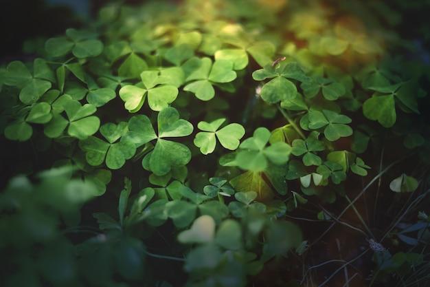 Bosco incantato, trifogli di prato. piante verdi della strega, fondo mistico del bosco.