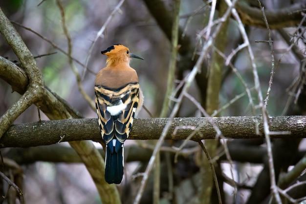 Uccello dell'upupa del madagascar endemico con un piumaggio colorato