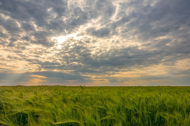 Campo infinito con grano verde. i raggi del sole si fanno strada attraverso le incredibili nuvole