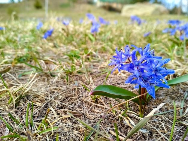 Tappeti inglesi della campanula nella primavera del prato