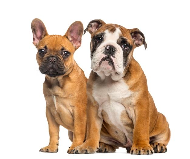 Cucciolo bulldog inglese e cuccioli bulldog francese