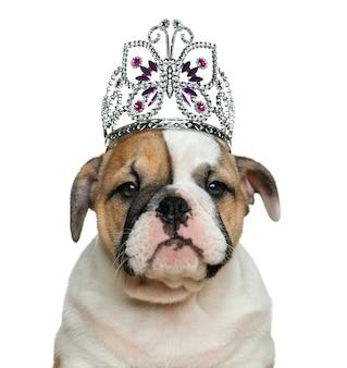 Cucciolo di bulldog inglese indossa un diadema davanti al muro bianco