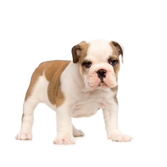 Bulldog inglese cucciolo