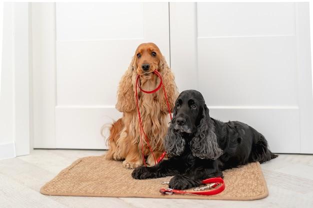 I cani cocker spaniel inglesi con guinzagli rossi sono in attesa di una passeggiata