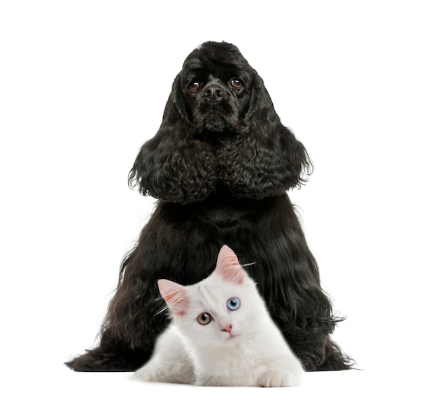 Cocker spaniel inglese seduto gattino bianco davanti al muro bianco
