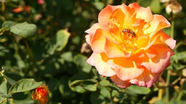 Rose inglesi nel giardino del rosario. fiori che sbocciano. primo piano del letto di fiori del rosario.