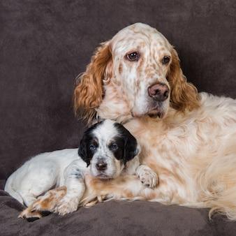 Madre e cucciolo del grande cane dell'incastonatore inglese
