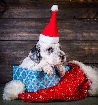 Cucciolo di cane setter inglese con cappello di babbo natale in confezione regalo. sfondo di natale