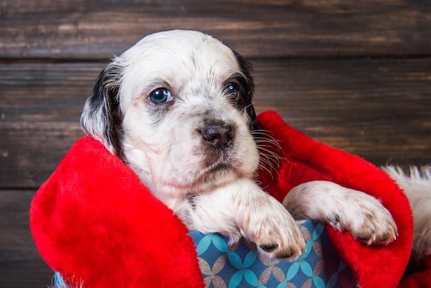 Cucciolo di cane setter inglese con cappello di babbo natale in confezione regalo