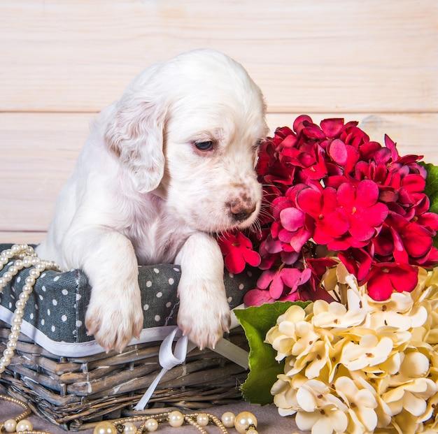 Cucciolo di cane setter inglese in un cesto di legno con fiori e perline.