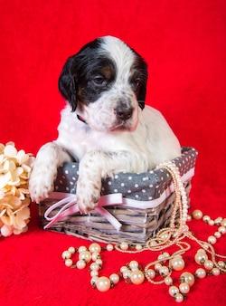 Setter inglese cucciolo di cane in un cesto di legno con fiori di ortensie e perline su sfondo rosso.