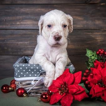 Cucciolo di setter inglese con fiori rossi del poinsettia e palline di giocattoli di natale.