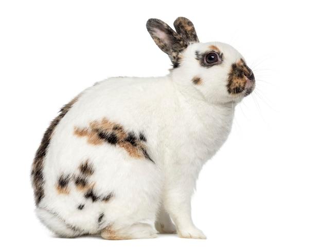 Coniglio spot inglese isolato su bianco