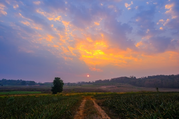 L'ingresso alla piantagione di ananas all'alba del mattino è un bellissimo sfondo.