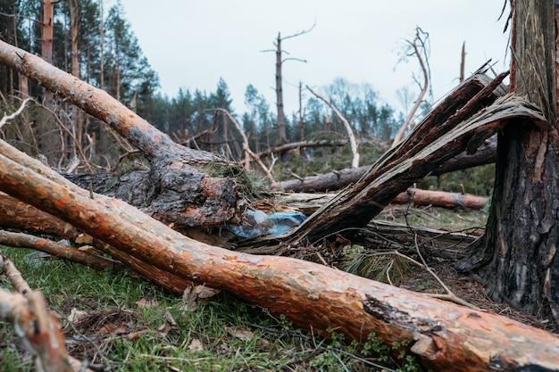 Questioni ambientali, problemi. bottiglia di plastica nel tronco di un albero caduto di pino. manna in foresta di pini. danni da tempesta. alberi caduti nella foresta di conifere dopo un forte vento di uragano.