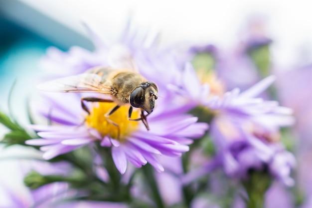 Eristalis pertinax è un hoverfly europeo. una ripresa macro di un hoverfly (eristalis pertinax).