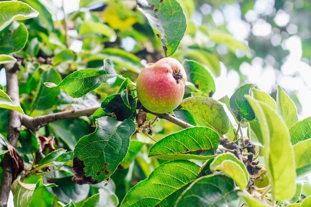 Erwinia amylovora. foglie malate di un melo. malattia dell'albero del giardino.