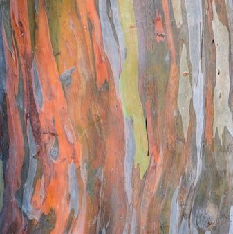 Struttura della corteccia di albero di eucalyptus deglupta