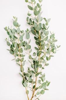 Ramo di fiori di eucalipto su bianco