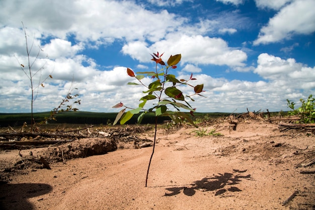 Foresta di eucalipti nello stato di san paolo - brasile. impianti per l'industria della carta