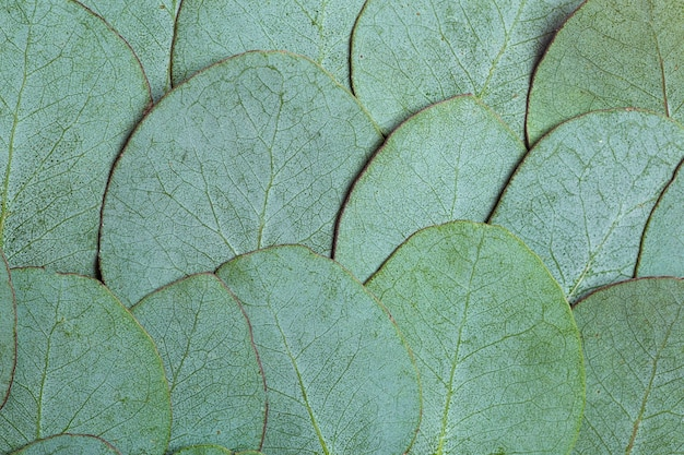 Sfondo di foglie di eucalipto