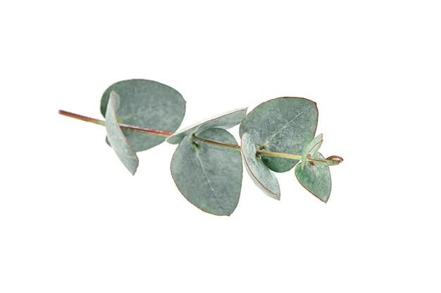 L'eucalipto lascia il ramo verde fresco con fogliame isolato