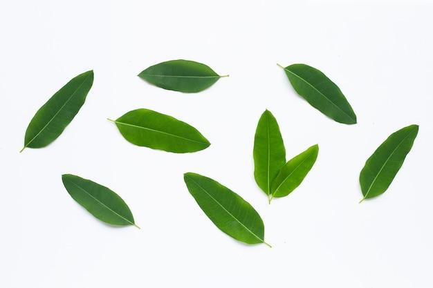 Foglie di eucalipto su sfondo bianco. copia spazio