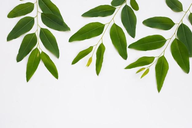 Foglie di eucalipto su sfondo bianco.