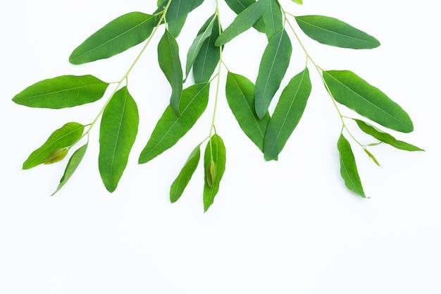 Foglie di eucalipto sulla superficie bianca