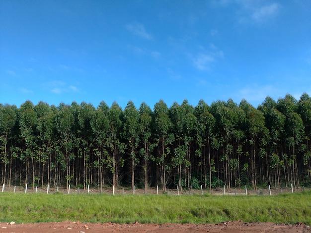 Piantagione di eucalipto, vista frontale. cielo blu