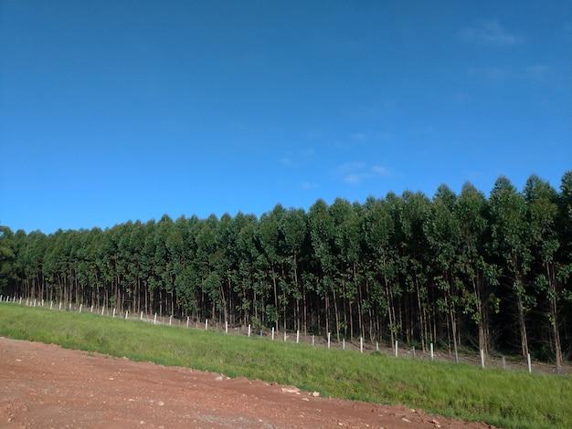Piantagione di eucalipto, vista laterale. cielo blu