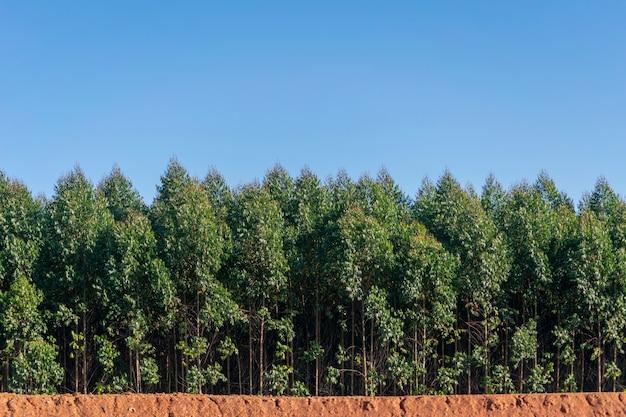 Piantagione di eucalipto con cielo blu. messa a fuoco selettiva sul tronco dell'albero.