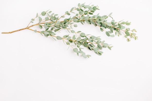 Eucalipto su bianco