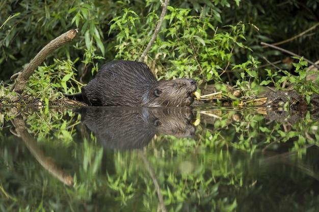 Castoro eurasiatico che si tuffa nell'acqua e tiene un ramo in bocca in estate